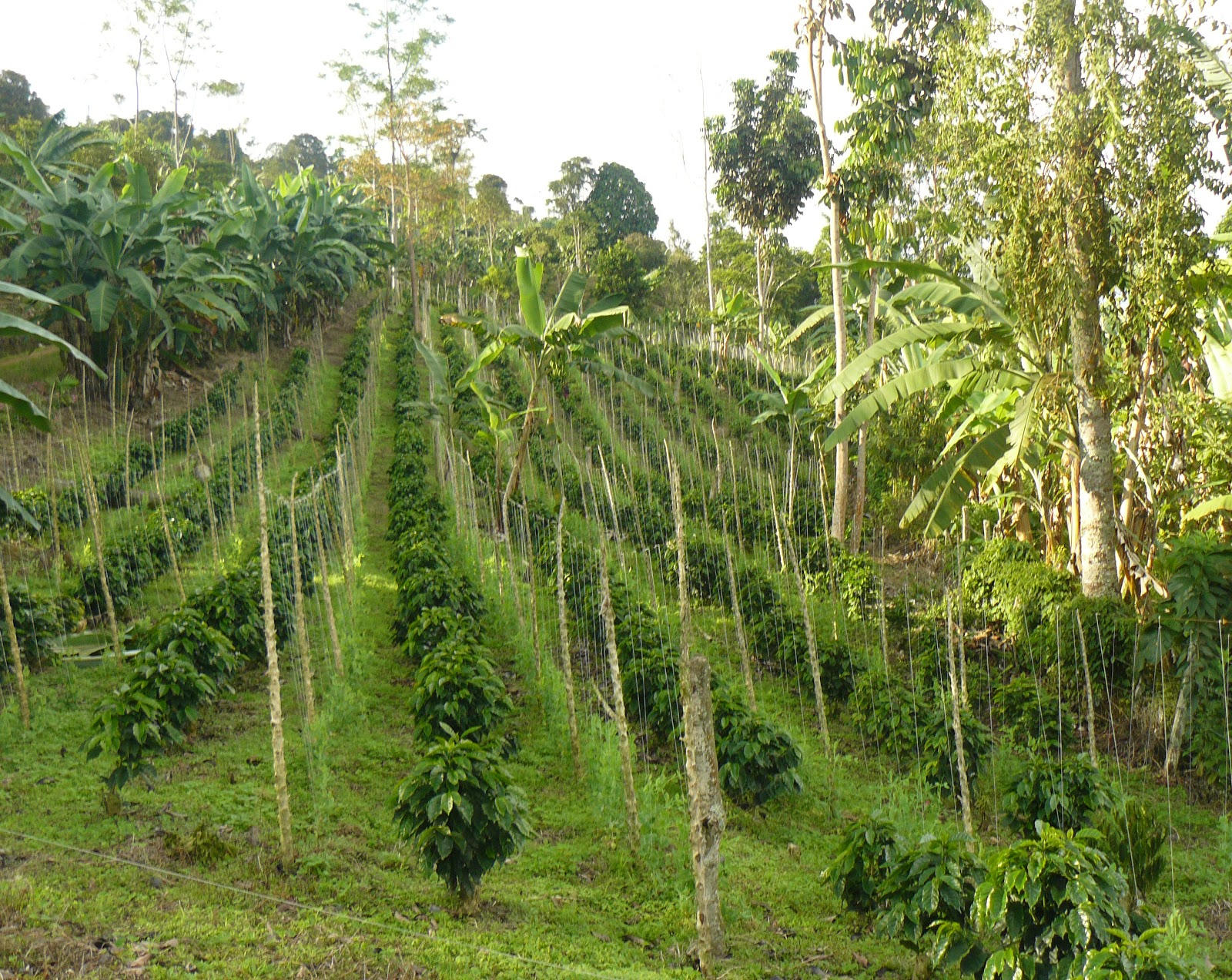 Coffee farming remains one of Colombia's top export industries.